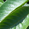 Guava (leaves)